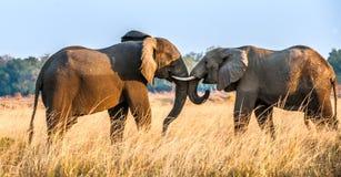 Éléphants africains de combat dans la savane au coucher du soleil Photo stock