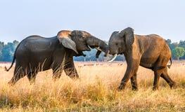 Éléphants africains de combat dans la savane au coucher du soleil Images stock