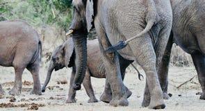 Éléphants africains et veaux dans le sauvage image libre de droits