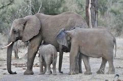 Éléphants africains et veaux dans le sauvage photographie stock libre de droits