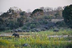 Éléphants africains et veaux dans le sauvage images stock