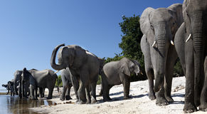 Éléphants africains - fleuve de Chobe - le Botswana Photo libre de droits