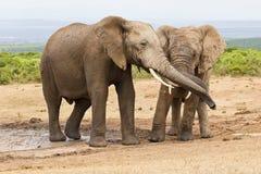 Éléphants africains frottant des troncs Photos libres de droits