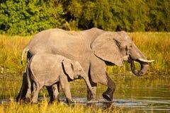 Éléphants africains marchant dans l'eau Images stock
