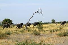 Éléphants africains marchant sur les plaines Image stock