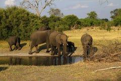 Éléphants africains marchant sur les plaines Photographie stock