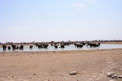 Éléphants africains se baignant à un point d'eau Photos libres de droits