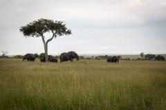 Éléphants africains sous des arbres sur la savane Photographie stock libre de droits