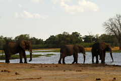 Éléphants africains sur le delta d'Okovango Photo stock