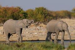 Éléphants africains sur un point d'eau Image stock