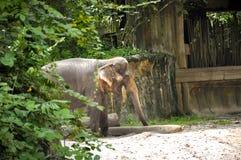 Éléphants asiatiques Photo libre de droits