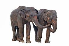 Éléphants asiatiques d'isolement sur le fond blanc Photos stock