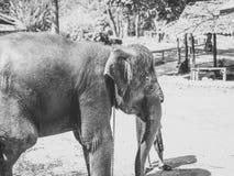 Éléphants asiatiques en noir et blanc images stock