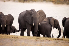 Éléphants au point d'eau, en parc national de Bwabwata, la Namibie Images stock