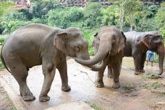 Éléphants au secteur se baignant la triangle d'or Eleph d'Anantara image libre de droits