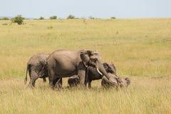 Éléphants avec des veaux sur la savane africaine Photographie stock
