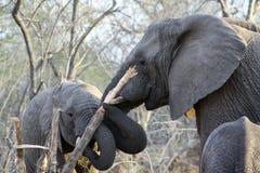 Éléphants avec un arbre dans leur bouche Photos libres de droits