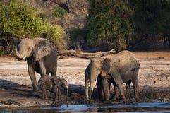 Éléphants buvant et jouant dans la boue en rivière de Chobe, parc national de Chobe, au Botswana, l'Afrique Images libres de droits