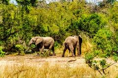 Éléphants chez Olifantdrinkgat, un abreuvoir près de camp de repos de Skukuza L'un des deux urinant avoir ensuite a bu trop d'eau image stock