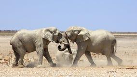 Éléphants combattant en parc Namibie d'Etosha Image stock