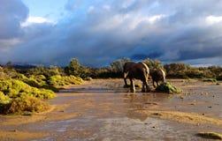 Éléphants contre le ciel orageux Photos libres de droits