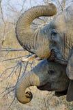 Éléphants courbant leurs troncs Images libres de droits