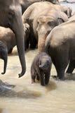 Éléphants d'Asie avec la chéri images stock