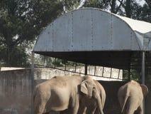 Éléphants d'Asie en parcs zoologiques photos stock