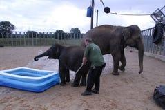 Éléphants d'Asie et gardien Image libre de droits