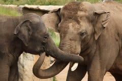 Éléphants d'Asie (indicus de maximus d'Elephas) Images libres de droits