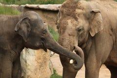Éléphants d'Asie (indicus de maximus d'Elephas) Image stock