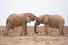 Éléphants dans l'amour Image stock
