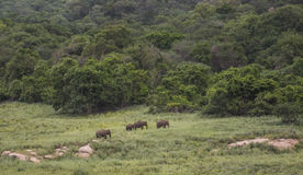 Éléphants dans la réserve naturelle d'Azhiyar Photos stock