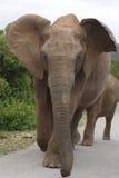 Éléphants dans la route Photographie stock libre de droits