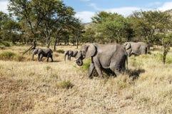 Éléphants dans la savane de la Tanzanie Photos libres de droits