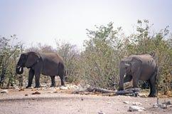 Éléphants dans le buisson Images libres de droits