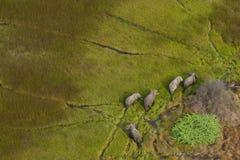 Éléphants dans le delta d'Okavango Images libres de droits
