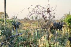 Éléphants dans le delta d'Okavango photographie stock