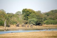 Éléphants dans le Kruger Images libres de droits