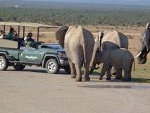 Éléphants dans le safaripark Afrique du Sud Photo libre de droits