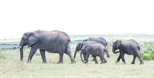 Éléphants dans le sauvage Image libre de droits