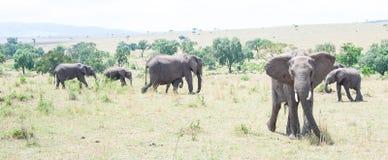 Éléphants dans le sauvage Photos libres de droits