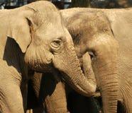 Éléphants dans le zoo d'Amersfoort Images stock