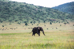 Éléphants dans Maasai Mara, Kenya Image stock