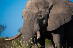 Éléphants dans Moremi GR - delta d'Okavango - le Botswana Image libre de droits