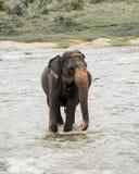Éléphants dans Sri Lanka photo libre de droits