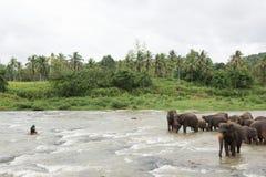 Éléphants dans Sri Lanka images libres de droits