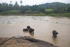 Éléphants dans un orphelinat dans Sri Lanka photo libre de droits
