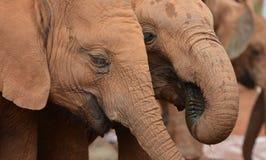 Éléphants de bébé Photographie stock libre de droits
