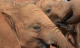 Éléphants de bébé Image stock